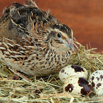 Starter and layer diets for commercial quail