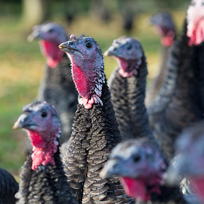 Quality turkey feeds for all types of production